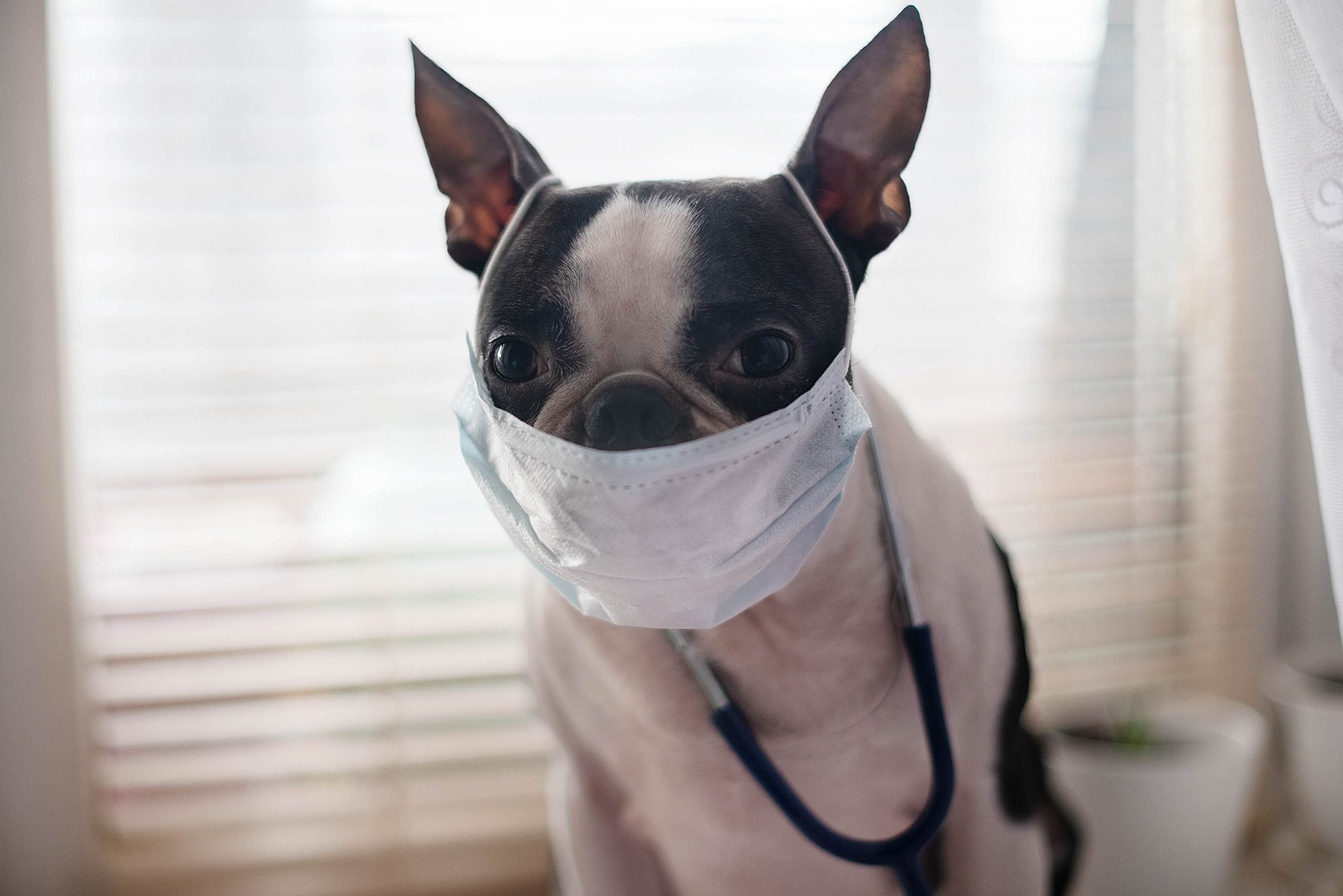 Boston Terrier dog wearing a mask and stethoscope